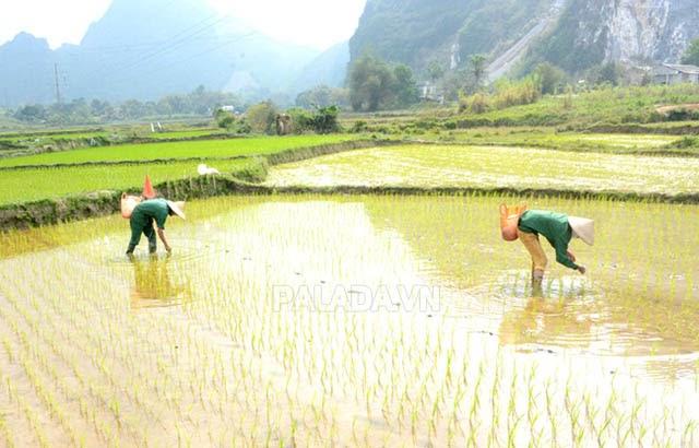 Sào, thước là đơn vị đo lường phổ biến trong nông nghiệp